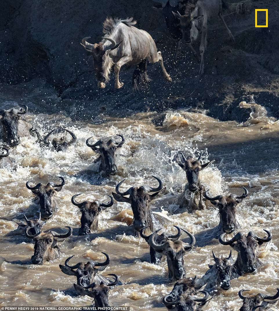 Migrating wildebeest leap into a river and frantically try to cross in order to avoid hungry crocodiles. This action shot was captured by Penny Hegyi in the Masai Mara in Kenya