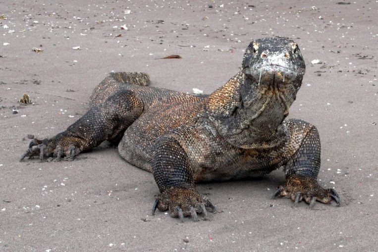 Indonesia's Komodo Island to be Closed in 2020, Plans for Better Conservation of Komodo Dragons