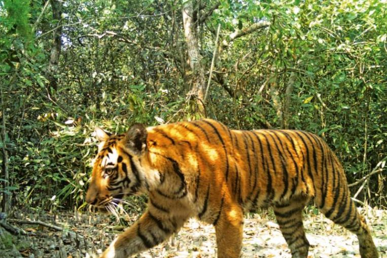 Bangladesh 'extremely worried' over low male tiger population