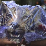 More Than 2,300 Tigers Killed and Trafficked this Century