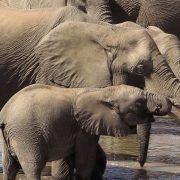 'Momentous': Near-total Ban on Trade in Wild Elephants for Zoos