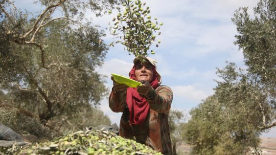 Palestinian Farmers Not In Favor of Israeli Olives