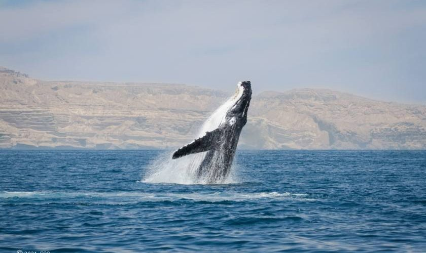 Atlas on Oman's whales, dolphins launched